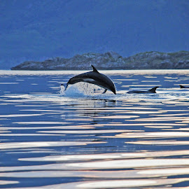 Dolphin by Marius Birkeland - Animals Sea Creatures ( water, dolphin, jumping, sea, animal )