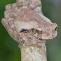 Smilisca frog