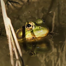 Still - Very Still by Shelby Taylor - Animals Amphibians ( reflection, frog, mud puddle, amphibian, pond,  )