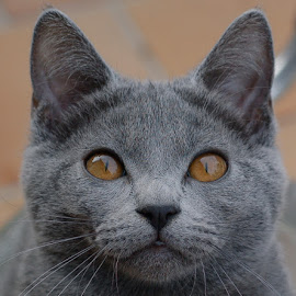 Chartreux kitten by Serge Ostrogradsky - Animals - Cats Portraits