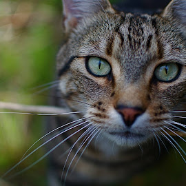 Taken at f.1.8 with a 35mm prime lens. Depth of field so shallow only the eyes are in focus. f2 another time. by Justin Smith - Animals - Cats Portraits