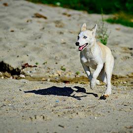 Playing  by Liviu Suciu - Animals - Dogs Playing ( sand, beach, landscape, dog, animal )