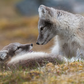 Polar foxes by Trond Braadland - Animals Other Mammals ( polar fox, alopex lagopus, svalbard, canidae, carnivora )