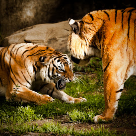 The Disagreement by Larry Welch - Animals Lions, Tigers & Big Cats