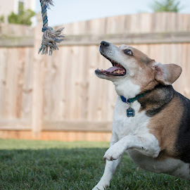 Get That Rope by Shawn Klawitter - Animals - Dogs Playing ( playing, animals, pets, outdoors, beagle, dog )