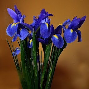 Blue Madness by Dennis Rubin - Flowers Flowers in the Wild ( 201405-23, wild, iris group, blue, iris, , Flowers, Flower Arrangements )