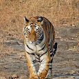 Great Mammals of India