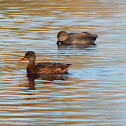 Gadwall ducks couple
