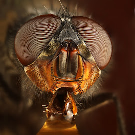 Thirsty by Ondrej Pakan - Animals Insects & Spiders ( macro, fly, dew, dew drops, insect, insects )