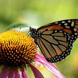 Monarch Butterfly on Echinacea Plant by Pamela Richardson - Nature Up Close Other Natural Objects ( echinacea, plant, butterfly, nature, monarch, nature up close, coneflower, pink, backyard )