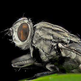 flesh fly - sarcophagae by Tarek Den - Novices Only Macro