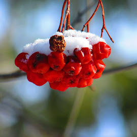 Frozen cherries by Ginette Houle - Nature Up Close Gardens & Produce ( cherry, cherrytree, food, cherryonice, snow, frozen )