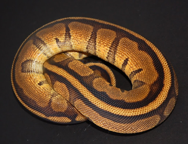 Welsh Reptile Breeders Ball Python Morphs For Sale - Reptile Forums