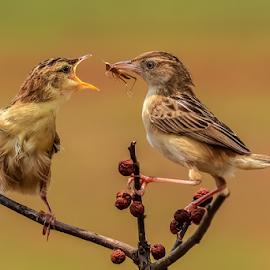 Cisticola juncidis by MazLoy Husada - Animals Birds