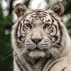 White Tiger by Garry Chisholm - Animals Lions, Tigers & Big Cats ( garry chisholm, predator, carnivore, cat, nature, tiger, wildlife )