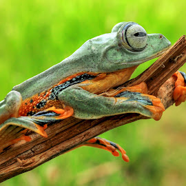 Memeluk Ranting by Hendri  kus - Animals Amphibians ( #photography )