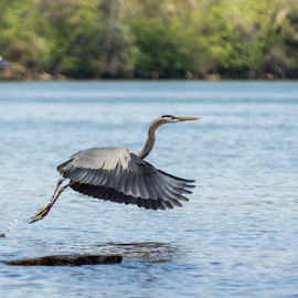 Great Blue Heron by Jake Easton - Animals Birds