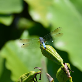 Dragonfly by Brian Shoemaker - Novices Only Wildlife ( lilypons, nature, lily pad, dragonfly, closeup )