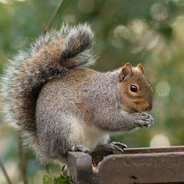Squirrel up a tree by Andrew Richards - Animals Other Mammals ( tree, tail, squirrell, animal )