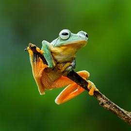 Flying Frog.. by Ubayoedin As Syam - Animals Amphibians
