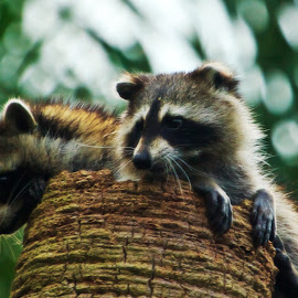 Adorable Racoon Pups by Stan Lupo - Animals Other Mammals ( pups, wakodahatchee wildlife preserve, animal art, nature, wildlife photography, nature photography, racoons,  )