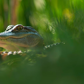 Baby Gator by Harvey Lindenbaum - Animals Reptiles ( alligator, sc, pinckney island, baby, reptile )