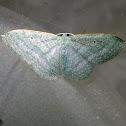 Sea-blue Delicate Moth