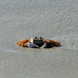 Crab in the Tide by Jen Rhora - Animals Sea Creatures ( sand, tide, ocean, beach, crab )