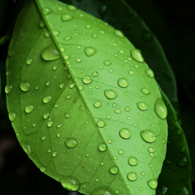 Raindrops on Lemon Leaf by Dinesh Pandey - Nature Up Close Leaves & Grasses (  )