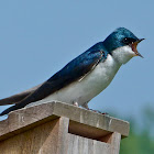 Tree swallow (adult male)
