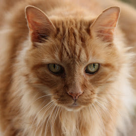 Buddy by Maureen Figueira - Animals - Cats Portraits ( orange, cat, pets, feline, animal )