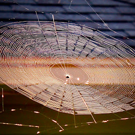 Orb weaver spider web at sunrise by Sandy Scott - Nature Up Close Hives & Nests ( orb weaver spider, orb weaver, spider web design, spider, insects, spider web,  )