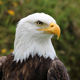 Head of a Male American Bald Eagle by Robert Hamm - Animals Birds ( otavalo, eagle, bird of prey, ecuador, bald eagle, american bald eagle, bird, hunter, predator, carnivore, nature, outdoor, raptor, bird sanctuary )