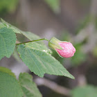Pink Flowering Maple