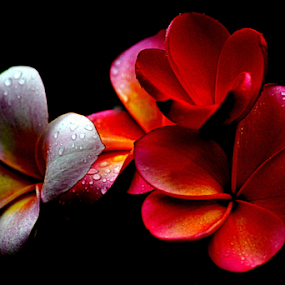 Pink Frangipani 44 by Mark Zouroudis - Flowers Flowers in the Wild (  )