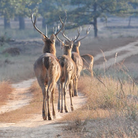 Good bye Kanha.. by Milind Lele - Animals Other Mammals (  )