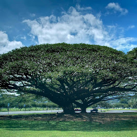 Monkey Pod Tree by Jim Downey - City,  Street & Park  City Parks ( park, massive tree, hawaii, growth, big island )