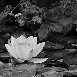 Water Lily by Barbara Atkin-Kauss - Novices Only Flowers & Plants ( white flower, lily, black and white, san francisco zoo flower, bloom, lily pad, floating flower, water lily, flower )