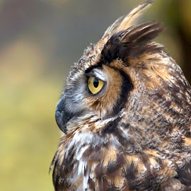 Great Horned Owl by Sandra Blair - Animals Birds ( bird, predator, nature, owl, raptor )