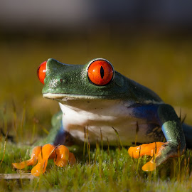 Red Eyes by Kutub Macro-man - Animals Amphibians ( macro, red, nature, amphibians, close-up, animal )