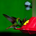 Coppery-headed Emerald Hummingbird(male)