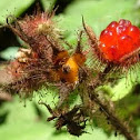 Japanese Wineberry