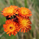 Devil's Paintbrush or Orange Hawkweed