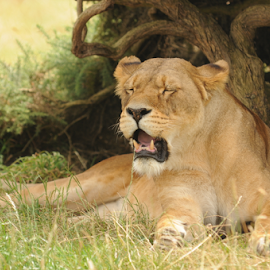 by Graham Stirling - Animals Lions, Tigers & Big Cats ( big cat, lioness, wildlife )