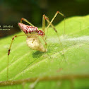 Spider(female) with its egg-sac