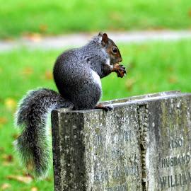 by John Swain - Animals Other Mammals ( squirrel, graveyard )