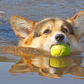 Corgi reflection by Mia Ikonen - Animals - Dogs Playing ( retrieving, pembroke welsh corgi, finland, fun, swimming )