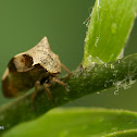 Two-horned leafhopper