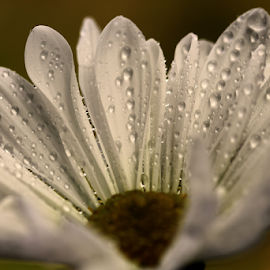 by Dipali S - Flowers Single Flower ( water drops, nature, flora, white, daisy, chrysanthemum, flower )