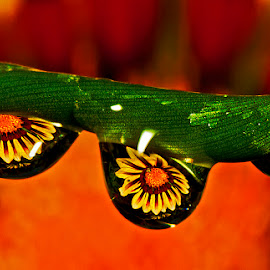 3 drops showing a gazania by David Winchester - Nature Up Close Natural Waterdrops